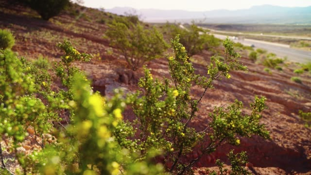 Flowering Creosote Bush in Arizona desert nearby a highway with slow traffic in early spring. Video with the slow focus shift from a highway in backdrop to the flowers in foreground. Flowering Creosote Bush in the desert at early spring. 4K UHD video footage. Arizona, USA back to back stock videos & royalty-free footage