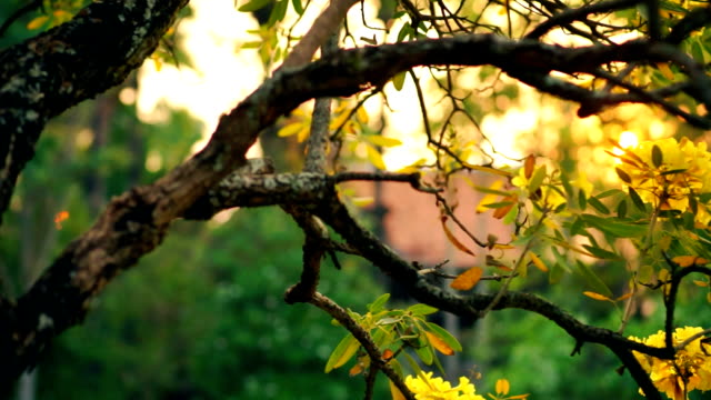 Flowering Golden Tree with Yellow Blossoms in Backyard video