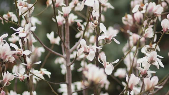 Flowering Magnolia In Spring