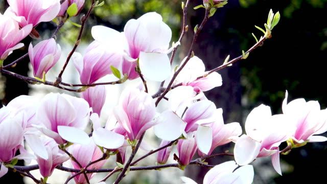 Flowering Magnolia Tree video