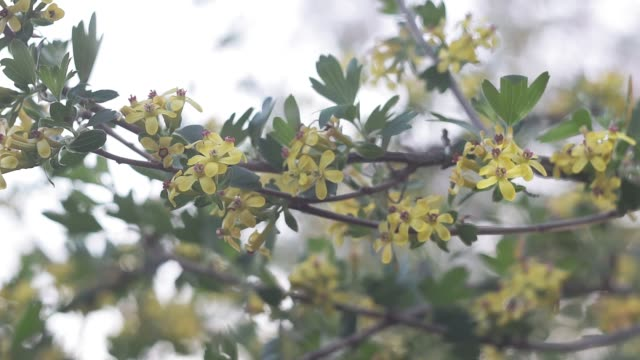 flowering of black silver currant on the branches of a shrub