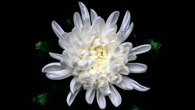 Flowering of chrysanthemum