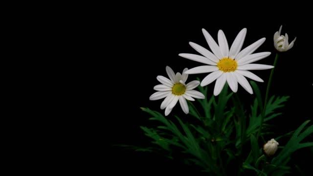 flowering of margaret - нивяник стоковые видео и кадры b-roll