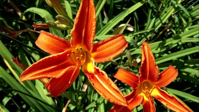 Flowering of Orange Lilies in the Garden video