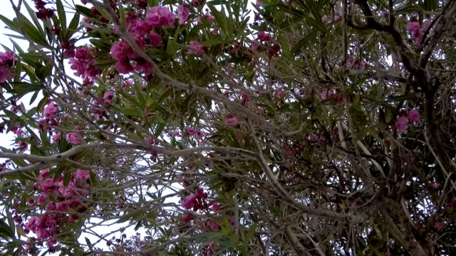 Flowering oleander tree video