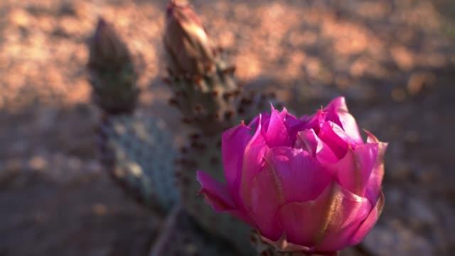 Flowering Opuntia Basiliaris, or Beavertail Cactus, in the Arizona desert at early spring - vídeo