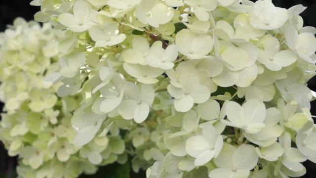 Flowering panicle hydrangea