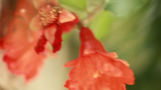 flowering pomegranate tree video flowering pomegranate tree vascular plants stock videos & royalty-free footage