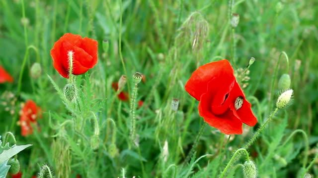 Flowering poppies in the field video