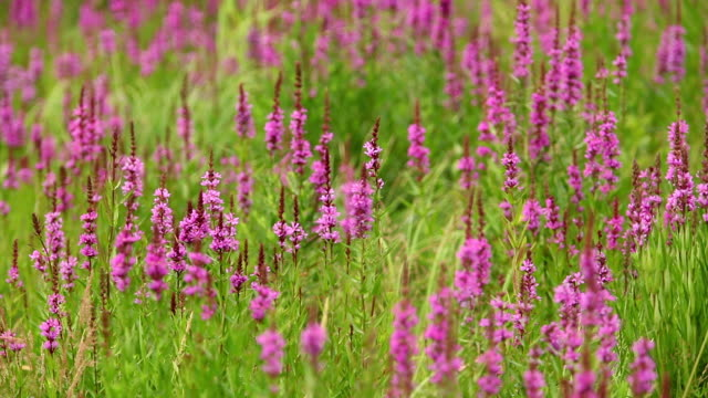 blühende lila losestrife pflanze - baumgruppe stock-videos und b-roll-filmmaterial