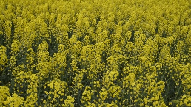 Violación de la floración en el campo. - vídeo