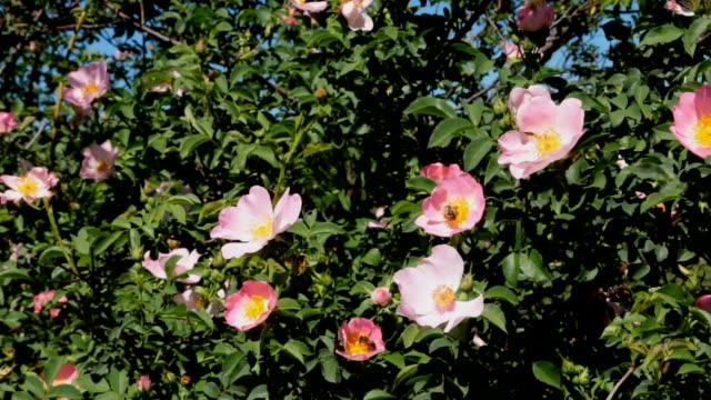 開花ローズヒップの花と昆虫の花粉を収集 - イヌバラ点の映像素材/bロール