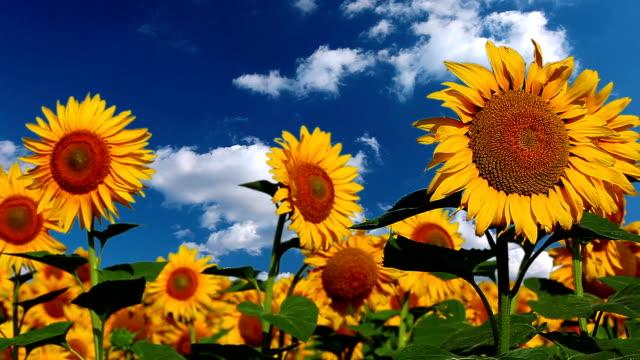 goat sunflowers - ヒマワリ点の映像素材/bロール