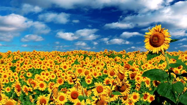 кизил «подсолнухи» - sunflower стоковые видео и кадры b-roll