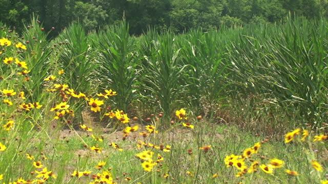 fiori e gambi di mais - coreopsis lanceolata video stock e b–roll