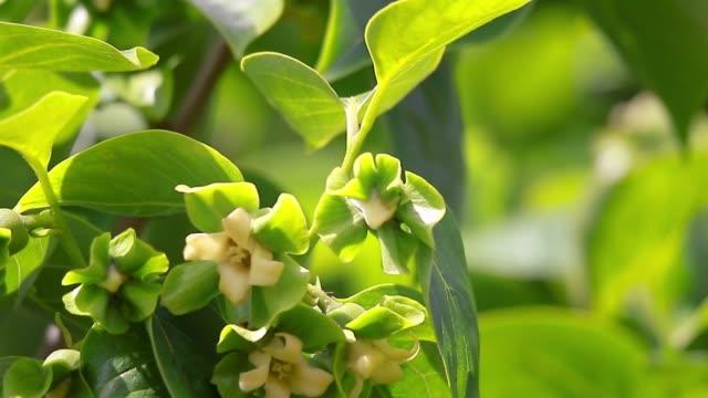 vídeos de stock e filmes b-roll de flowers and leaves of persimmon (diospyros) kaki fruit in the garden. - diospiro
