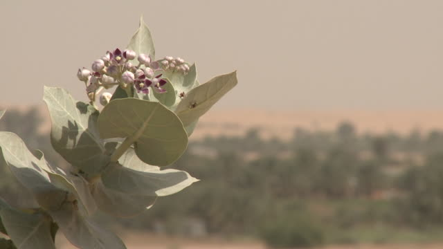 Flowers and Plants Desert Plants, UAE. MCU of flying insects crawling over the leaves of a desert flowering plant. arthropod stock videos & royalty-free footage