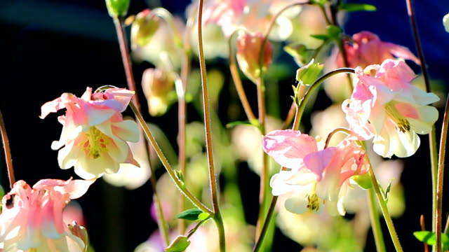 Flowers aquilegia on a green background