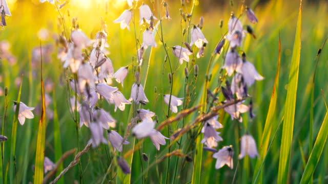 Çiçekler Bellflower sabah güneş closeup arka ışık içinde. video