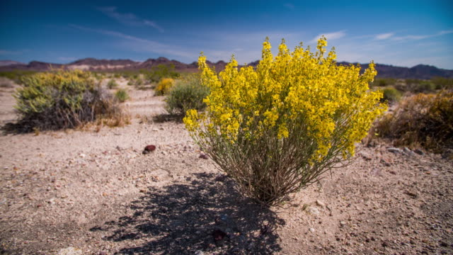Flowers blooming in the Desert Yellow wildflowers blooming in Mojave Desert, California USA. mojave desert stock videos & royalty-free footage