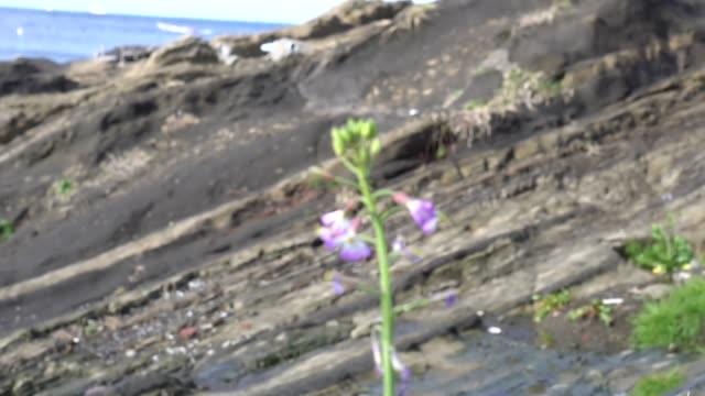 vídeos de stock, filmes e b-roll de flores florescendo em rochas rochosas e no mar além - arméria