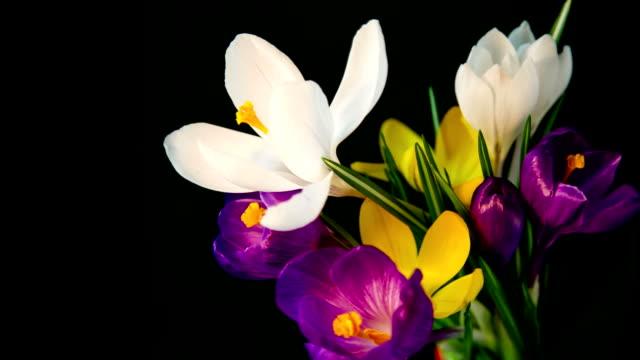 Flowers bouquet , purple, white Yellow crocuses bloom. video