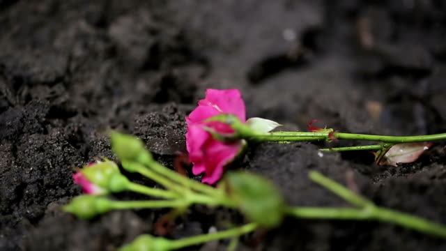 Flowers falling on grave earth, condolences at funeral ceremony, pain video