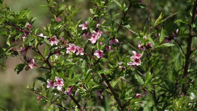 fiori rosa fiori - sardegna video stock e b–roll