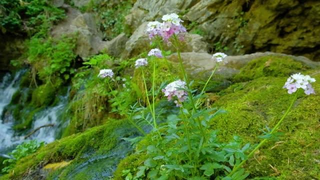 blumen wachsen auf einem stein, umgeben von grünem moos auf einem hintergrund von streams - endemisch stock-videos und b-roll-filmmaterial