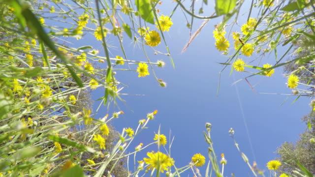 vidéos et rushes de pov:  fleurs de printemps - vue en contre plongée verticale