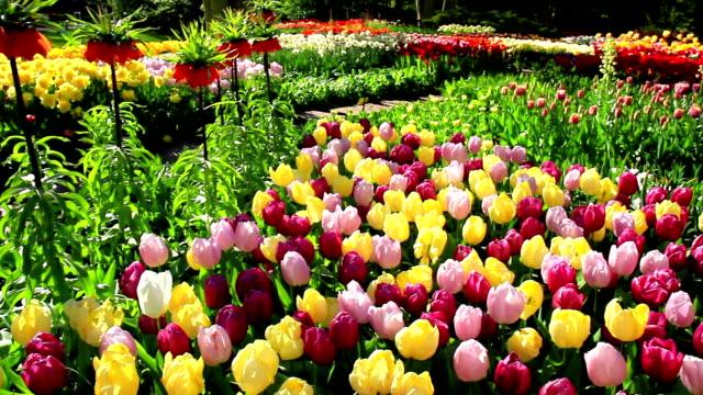 blommor i parken keukenhof. - keukenhof bildbanksvideor och videomaterial från bakom kulisserna