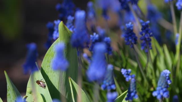 ブドウヒヤシンスの花、ムスカリ・ボトリオイド ビデオ