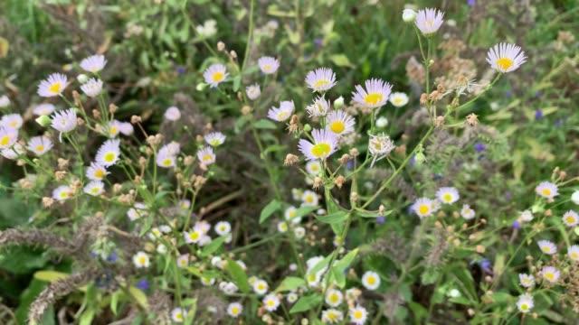 Flowers of annual fleabane (Erigeron annuus) video