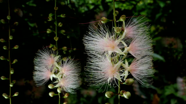 Flowers of Barringtonia racemosa or powder-puff tree in the morning at Miyakojima island in Okinawa, Japan video