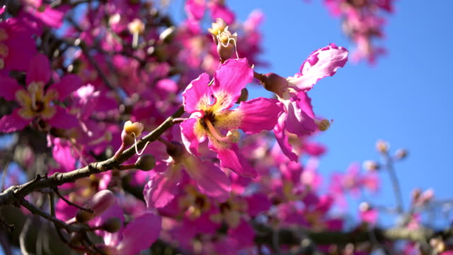 flowers of cherry tree in 4k - colore ciliegia video stock e b–roll