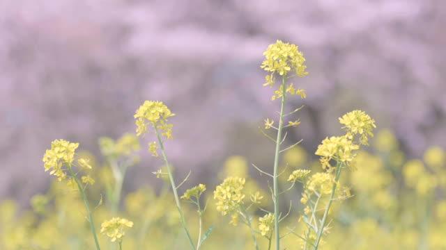 fiori di campo di senape, showa memorial park, tokyo, giappone - colore ciliegia video stock e b–roll