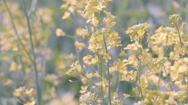 vídeos de stock, filmes e b-roll de campo de flores de mostarda, no memorial de showa park, tóquio, japão - sem cultivo