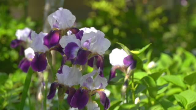 blumen deutscher iris oder bärte im sommer - nierenkelch stock-videos und b-roll-filmmaterial