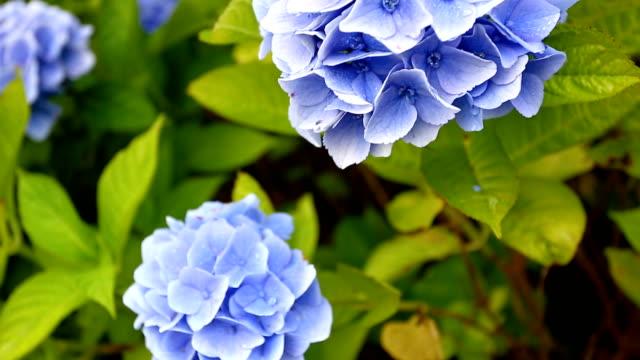 stockvideo's en b-roll-footage met bloemen van de hortensia - hortensia