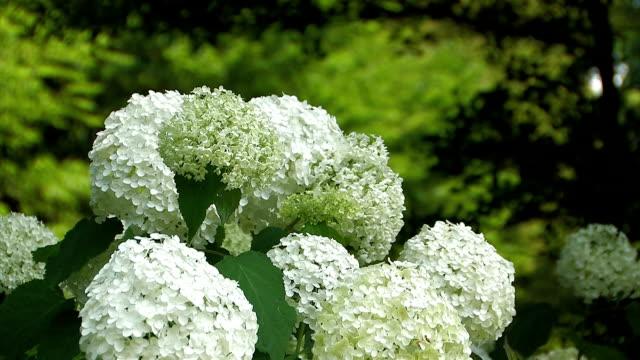 blumen der hortensie in der showa kinen park, tokyo, japan - hortensie stock-videos und b-roll-filmmaterial