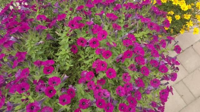 Flowers Of Magenta Petunia Surfinia Flowers Of Magenta Petunia Surfinia dyed red hair stock videos & royalty-free footage