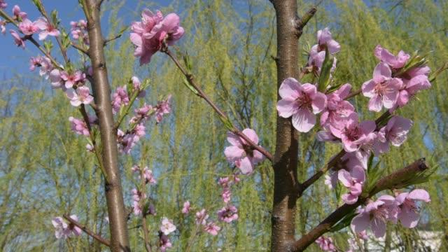 Flowers of nectarine tree, blooming in spring under the blue sky Flowers of nectarine tree, blooming in spring under the blue sky nectarine stock videos & royalty-free footage