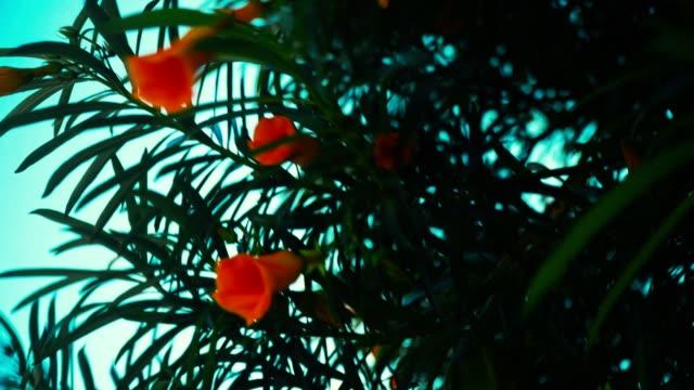 Flowers of punica granatum