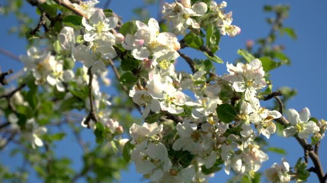 花の木の花 - アプリコット点の映像素材/bロール