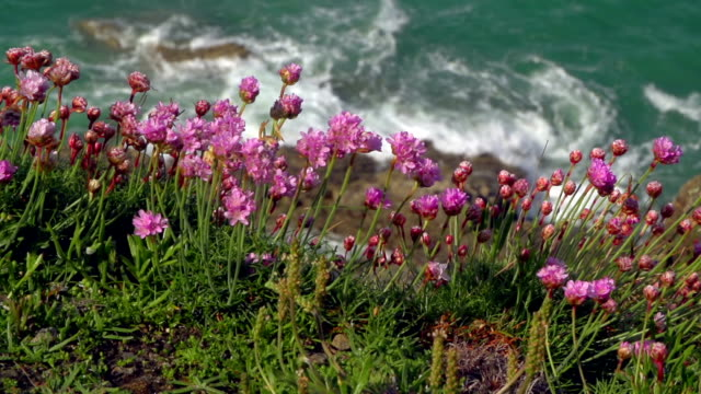 vidéos et rushes de fleurs sur la falaise - bretagne