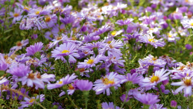flowers perennial alpine asters - stame video stock e b–roll