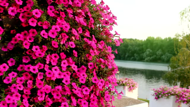 Flowers petunias in nature video