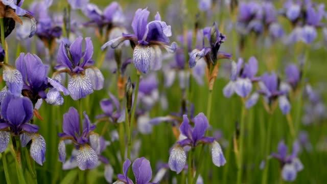 flowers plants irises purple in the field