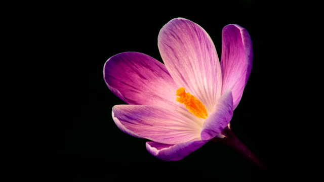 fiori fioritura viola crocuses - fiori video stock e b–roll