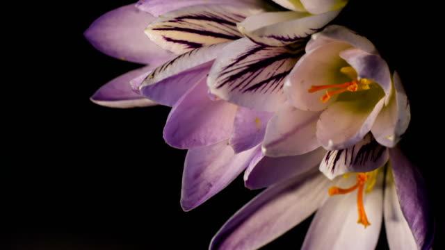 Flowers, purple crocuses bloom video